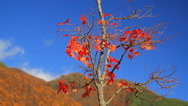 Stock Video Footage of Autumn leaves falling down on the wind.