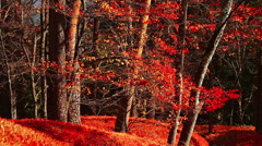 Beautiful red foliage leaves in the autumn forest. Stock Footage