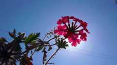 4k flower background. flowering pink primula against blue sky and sun (primul Stock Footage