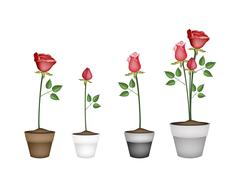 Set of Red Roses in Ceramic Flower Pots Piirros
