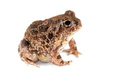 Sand frog Stock Photos