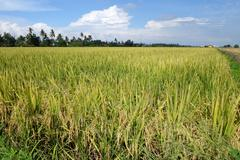 Paddy field with ripe paddy under the blue sky Stock Photos