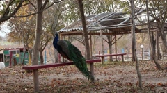 Beatiful peacock sitting on the bench in the zoo Stock Footage