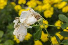 Dead white rose on a green/yellow background Stock Photos
