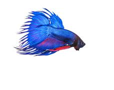 blue crown tail thai fighing fish betta prepare to fight isolated white backg - stock photo