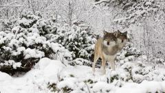 Wolf pack in winter forest Stock Footage