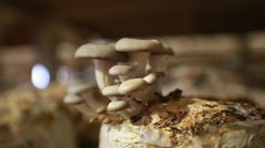 Mushroom cultivation, shiitake mushrooms, mushrooms grown on the farm Stock Footage