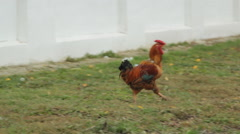 Rooster and hen Stock Footage
