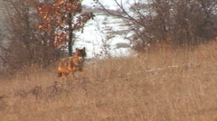 Hunting Golden jackal finding and eating carcass in winter field Stock Footage