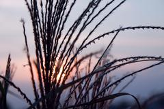 straw blades at sunset with sun light background - stock photo
