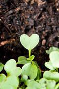 Green heart shape plant sprouting in garden soil Stock Photos