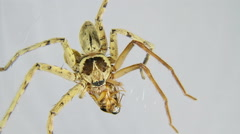 Spider attacks insect and kills it. Timelapse Stock Footage