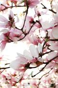 Magnolia tree Stock Photos