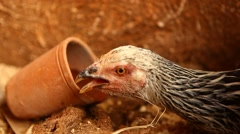 Closeup of Hen drinking water Stock Footage