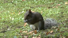 A squirrel foraging in the grass, St Alban's, Hertsfordshire, UK. Stock Footage