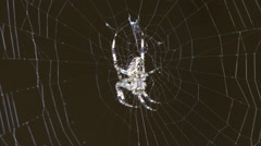 Spider on web 01 Stock Footage