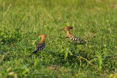 Couple of hoopoes on the land Stock Photos