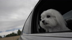 4K Adorable Happy Dog Sticks Head Out Car Window Eagerly Waits For School Bus Stock Footage