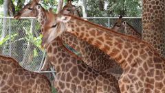 Beautiful giraffes in zoological garden Stock Footage