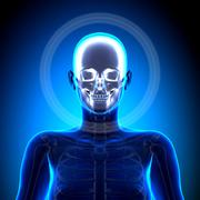 female skull / cranium - anatomy bones - stock photo