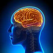 Female anatomy brain full Stock Photos