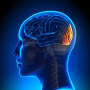 female occipital lobe - anatomy brain - stock photo