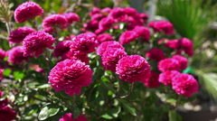 4k garden of dahlia red flowers swing on wind, ball dahlia (dahlia sandra) Stock Footage