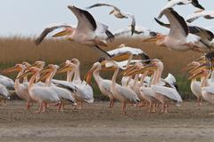 Pelicans in the danube delta Stock Photos