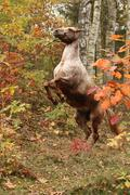 nice appaloosa mare rear up in autumn forest - stock photo