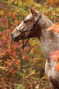 Nice appaloosa mare in autumn forest Stock Photos