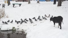 A dog attacks a flock of birds near the lake in winter Stock Footage