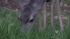 4K Wild Deer Grazes Face Close Up Stock Footage