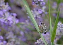 Bee searching for nectar on a lavender field - stock photo