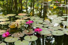 Water lily in the lagoon with reflections of the surrounding rain forest Stock Photos