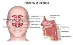 Human nose anatomy labeled. - stock illustration