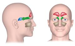 Sinuses of the head, unlabeled. - stock illustration