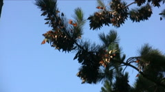 Monarch butterflies migrate to Pacific Grove Stock Footage