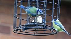 Wildlife Garden Birds Blue Tits on Garden Feeder Nature Background Stock Footage