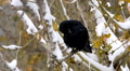 Black crow raven cleaning on tree in snow forest or city 2 HD Footage