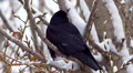 Black crow raven looking on tree in snow forest or city 4 HD Footage