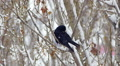 Black crow raven cleaning on tree in snow forest or city 5 Footage