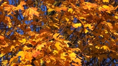 Golden Acer leaves autumn colors nature background Stock Footage