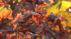 Golden beech leaves autumn colors nature background Stock Footage