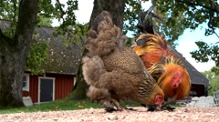 Chicken in front of a swedish house Stock Footage