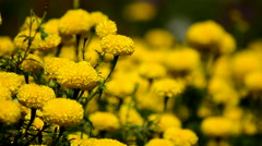 Marigold flowers Stock Footage