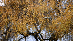 Autumn fall Nature Landscape tree  Leaves in PArk Stock Footage