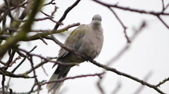 Eurasian Collared Dove on a branch Stock Footage