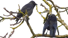 Jackdaws in a tree preening Stock Footage