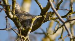 Eurasian Collared Dove preening Stock Footage