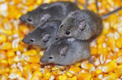 Field mice. Stock Photos